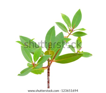 Mangrove tree and flower at beach isolate on white - stock photo