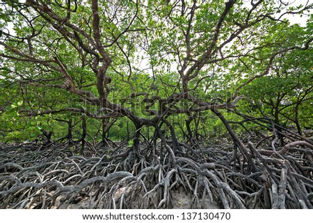 Mangrove tree by the sea. - stock photo