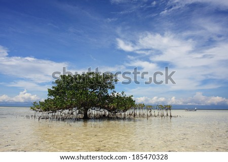 Mangrove tree in a shallow water near Bohol Island, Phlippines - stock photo