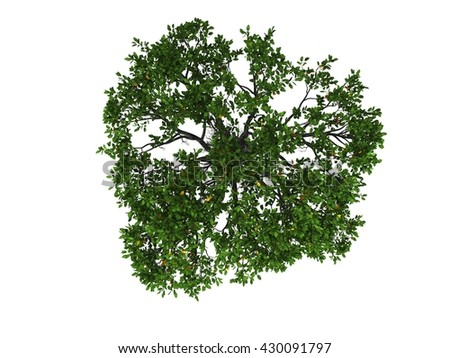 Mangrove tree in white background isolated top view