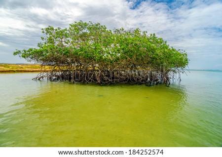 Mangrove tree near the coast of Punta Gallinas in La Guajira, Colombia - stock photo