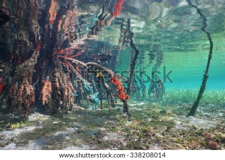Mangrove tree roots with sea sponges under the sea in shallow water, Caribbean - stock photo