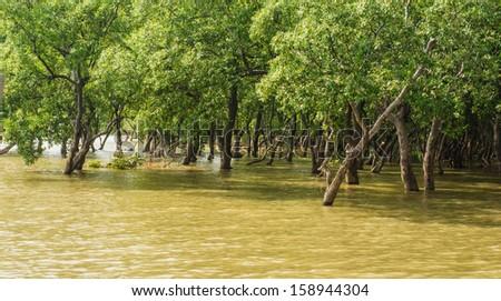 Mangrove trees - stock photo
