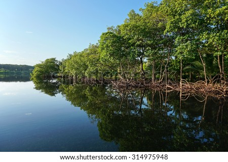 Mangrove trees along the shore reflected in water surface of the Caribbean sea, Panama, Central America - stock photo