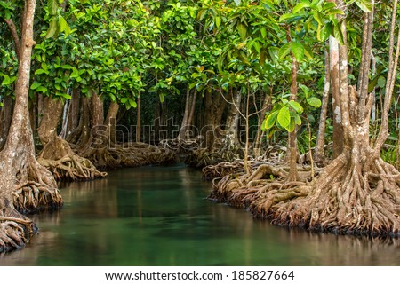 Mangrove trees along the turquoise green water in the stream - stock photo