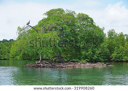 Mangrove trees and roots in the water of the Caribbean sea, Panama, Central America - stock photo
