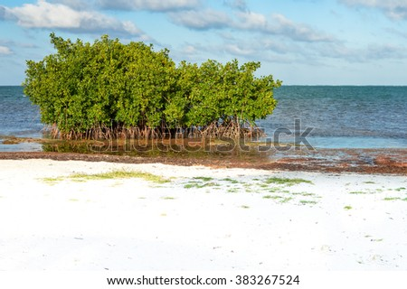 Mangrove trees and sargasso seaweed by the beach of Caye Caulker island, Belize - stock photo