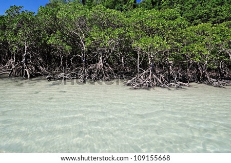 Mangrove trees by the white sand beach - stock photo