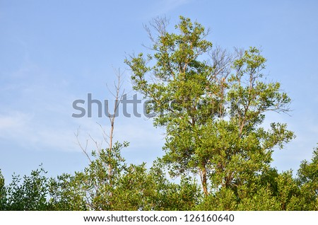 Mangrove trees have green leaves - stock photo