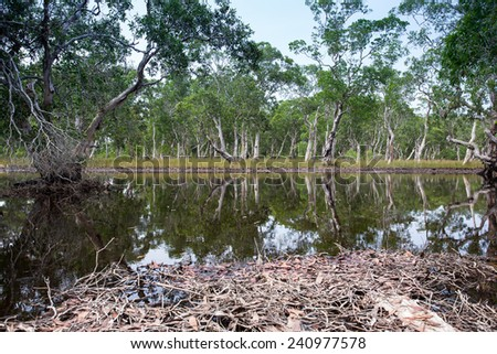 Mangrove trees in a peat swamp forest - stock photo