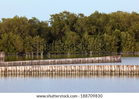 Mangrove trees in Abu Dhabi, United Arab Emirates - stock photo