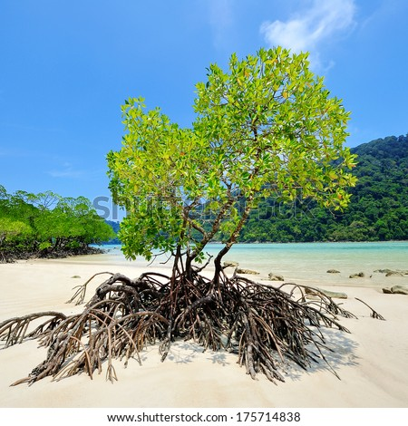 Mangrove trees on the beach at Surin Islands,Thailand. - stock photo
