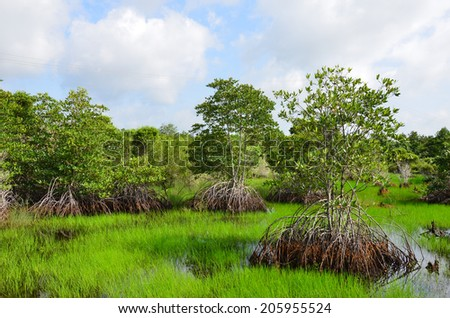 Mangroves growing in  lagoon in Mekong delta, Mangroves is also seen in Phu Quoc island, Can Tho, Ben Tra and Long An. - stock photo