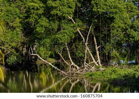 Mangroves North-East Coast Trinidad - stock photo