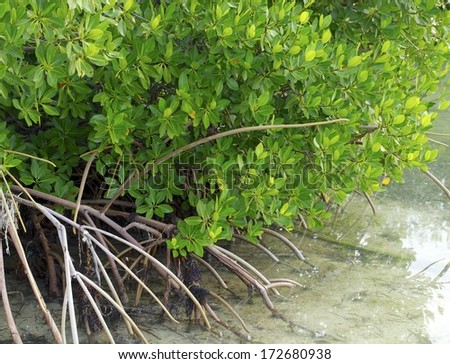 Mangroves reaching out into the ocean - stock photo