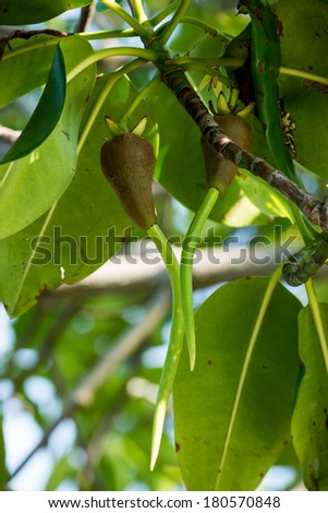 Mangroves tree in the botanical garden - stock photo