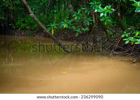 Mangroves trees in yellow river water at low tide  - stock photo