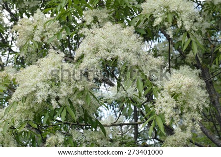 manna ash, south european flowering ash,inflorescences and leaves - stock photo