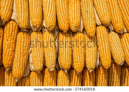 manny grains of ripe corn background - stock photo