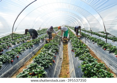 Manolada, Ilia, Greece - March 3, 2016: Immigrant seasonal farm workers (men and women, old and young) pick and package strawberries directly into boxes in the Manolada  of southern Greece. - stock photo
