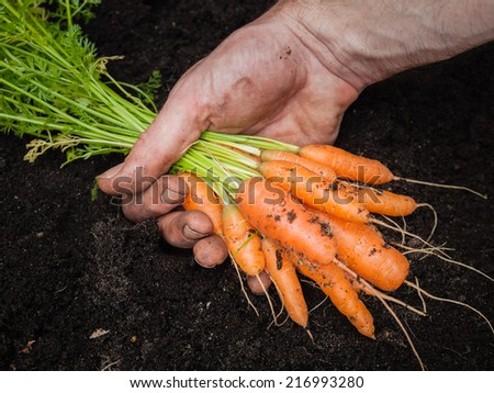 mans hand holding a bunch of freshly harvested carrots with rich dark soil behind - stock photo