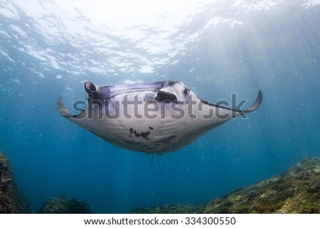 Manta dance at the cleaning station. Manta - the most amazing animal. Nusa Penida, Indonesia.