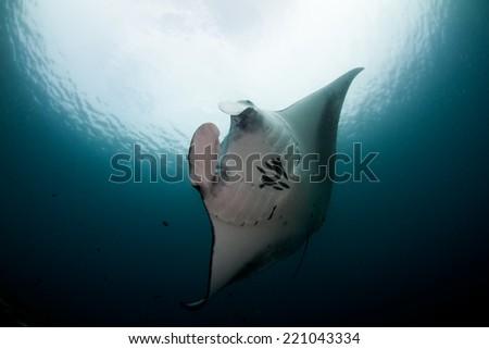Manta Komodo Indonesia - stock photo