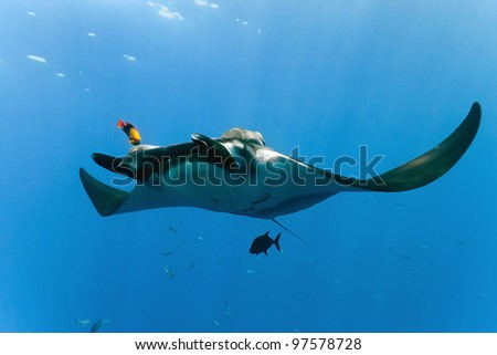 Manta on the blue background - stock photo