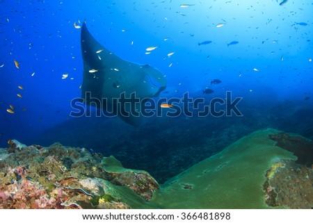 Manta Ray - stock photo