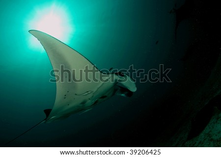 manta ray delight... - stock photo