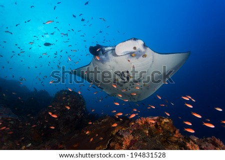 Manta ray getting cleaned - stock photo