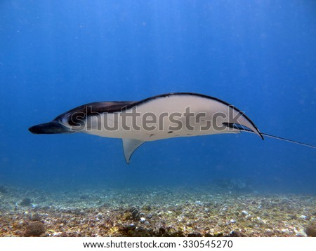 Manta ray gliding against the current - stock photo