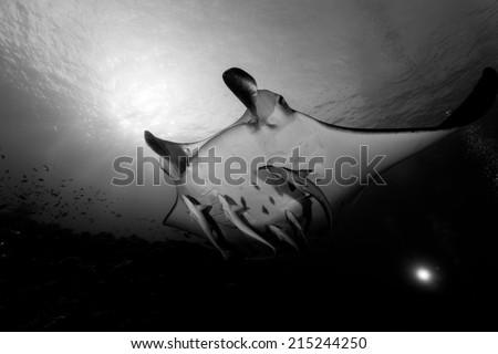 Manta ray in black and white in maldives - stock photo