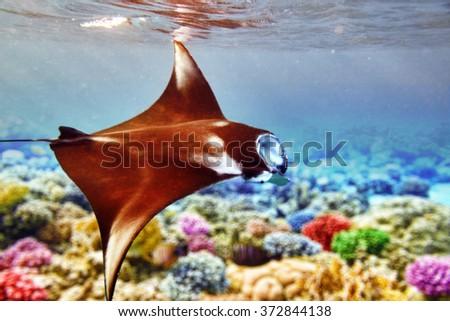 Manta ray in Indian Ocean - Maldives, near Thoddoo island. - stock photo