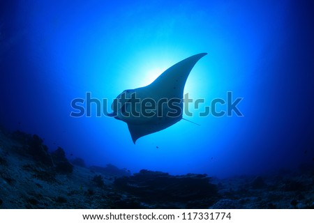 Manta ray in the blue water of the ocean - stock photo