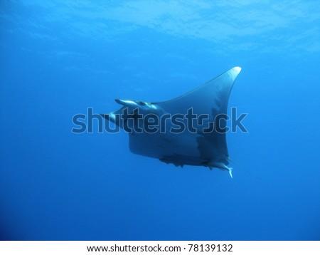 Manta ray (Mobula tarapacana) hoovering - stock photo