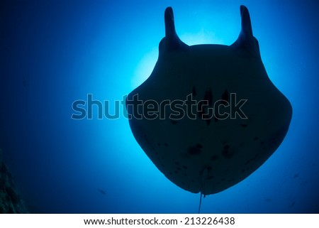 Manta ray shadow and blue background in Maldives - stock photo