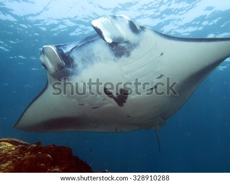 Manta ray showing wing span while gliding in shallow water - stock photo