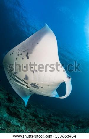 Manta ray swimming - stock photo
