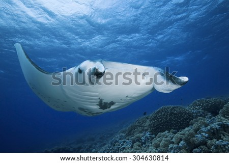 MANTA RAY SWIMMING FRONT TO THE CORAL GARDEN - stock photo