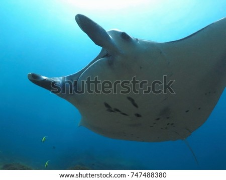 Manta ray swimming in the blue ocean, under the sun from the surface. Scuba diving adventure trip with wild manta. Underwater wildlife in the sea.