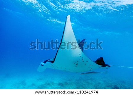Manta ray swimming in the ocean in French Polynesia - stock photo