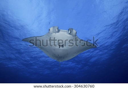 MANTA RAY SWIMMING ON BLUE WATER CLOSE TO SURFACE