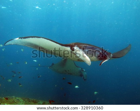 Manta ray train over a cleaning station in shallow water - stock photo