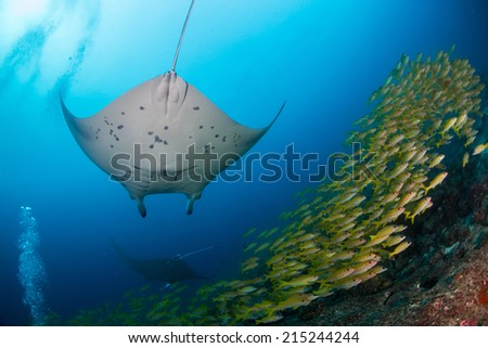 Manta ray underneath with yellow fish and blue background in maldives indian ocean - stock photo