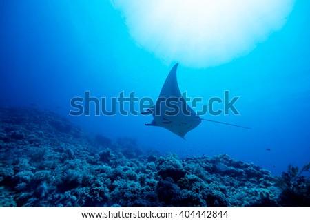 Manta ray underwater - stock photo