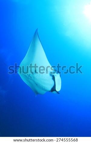 Manta Ray underwater blue background - stock photo