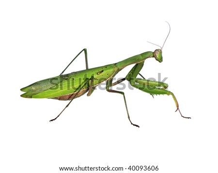 Mantid - stock photo