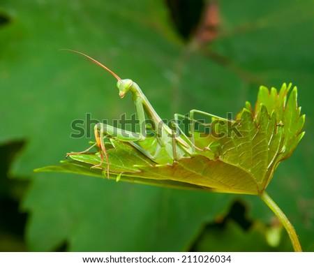 mantis close-up portrait - stock photo