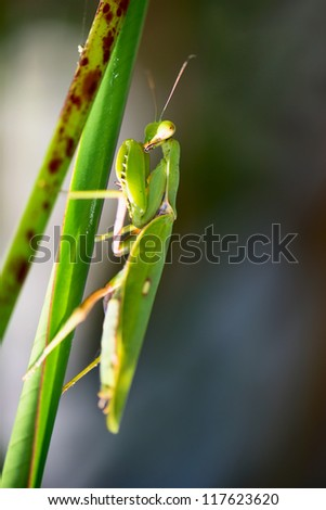 Mantis in green leaves, selective focus on predator's eyes - stock photo